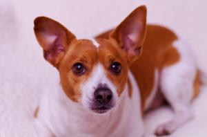 Picture of rat terrier using rembrant lighting