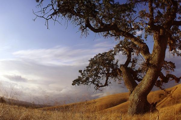 Lime Ridge Oak Tree