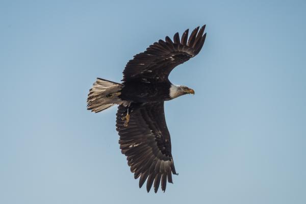 Eagle, Juan de Fuca Marine Trail, 2014