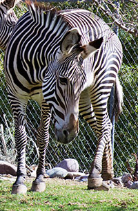 Hank the Zebra