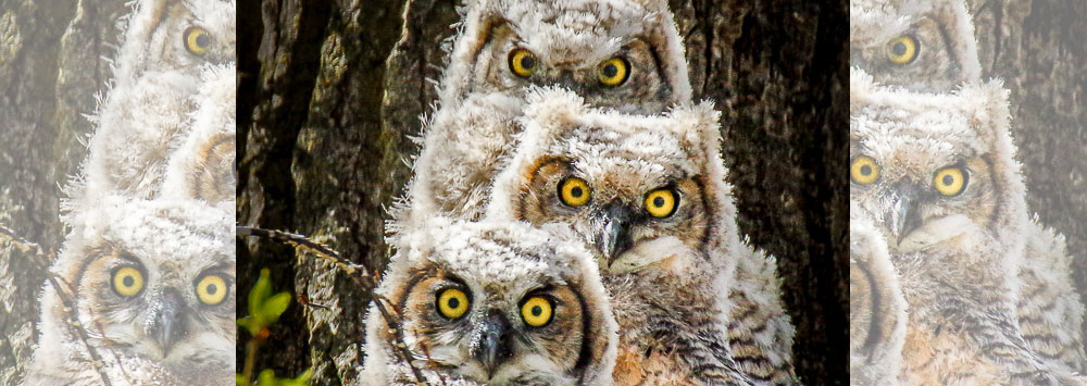 """The Making of """"Great Horned Owlets"""""""