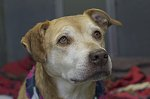Sandy-a sweet older dog at nine years old, she is the tragic victim of a divorce/