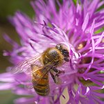Honeybee on a thistle in France.