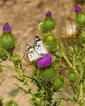 Caper White butterflies on a scotch thistle (a pest in Australia)