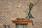 Pale-headed Rosellas at bird water bowl