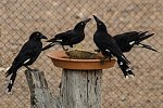 Pied Currawongs at water bowl