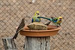 Pale-headed Rosellas and Spiny-cheeked Honeyeater at water bowl