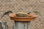 Spiny-cheeked Honeyeater and White-plumed Honeyeater at water bowl