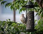 Female house finch on feeder