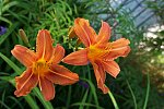 An orange pair - the daylilies are probably the freshest looking flowers in my yard (probably because they only last a day)! The DA 15 can work...