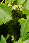 Grapes on the vine. About 2/3 of the frame.