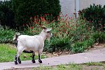 "Oct. 3 - ""Goat"" - f/6.3, 1/40"", ISO-1250    At a piano lesson. Heading inside?"