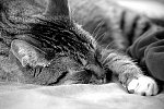 March 15: Cat Nap in B&W  Lots of miles behind the wheel today - oh to be back on vacation.    This is my friend Burt.  He's living quite...