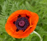 Orange Poppy bloom