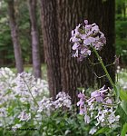 Dame's Rocket (Hesperis matronalis) in a forest.  Image captured with a handheld Pentax K-x.