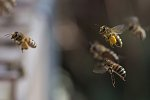 Bees, Honey and Beekeeping