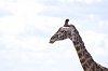 The Bokeh Club-giraffe2.jpg