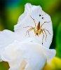 -spider-white-flower.jpg