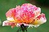 -fading-rose.jpg