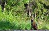 -fox-small-imgp7226.jpg