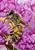 -bee-crepe-myrtle.jpg