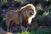 -lion_k5__7107.jpg