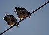 -birds_on_a_wire.jpg