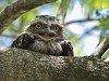 -tawny-frogmouth.jpg