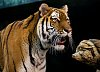 -mke-zoo-tiger-1.jpg