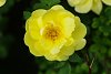 -rose3.jpg