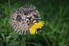 -hedgehog-pasture_1200.jpg
