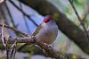 -red-browed-finch-1.jpg
