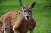 -red-kangaroos-1-3.jpg