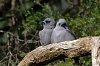 -bluebills-1.jpg