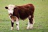 -bull-calf-2.jpg