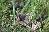 -limpkin-foraging-snails.jpg