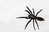 -white-tailed-spider.jpg