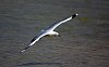 -gull-flight.jpg
