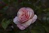 -rose-helios-44m-3.jpg
