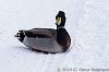 -duck-i-505430.jpg