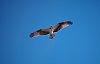 -osprey.jpg