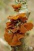 -orange-lichen-.jpg
