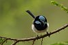 -superb-fairy-wren-male-1.jpg