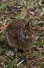 -cottontail-031414.jpg