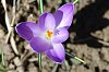 -first-crocus1.jpg