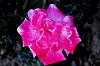 -pink-ribbon-rose.jpg