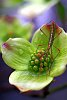 -dogwood-bug-3-rs.jpg