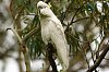 -suphur-crested-cockatoos-1.jpg