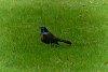 -black-bird.jpg