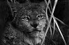 -bobcat-black-white-full-size.jpg